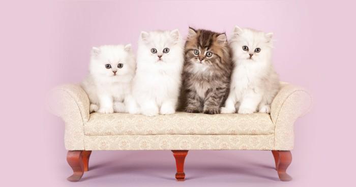 Makanan Favorit Kucing Persia Ternyata Juga Disukai Manusia